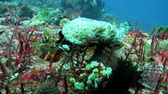 Papuan scorpionfish on deep coral reef, Scorpaenopsis papuensis, HD, UP30655 Stock Footage