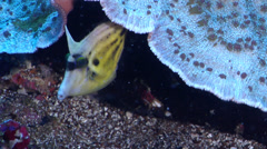 Spectacled filefish swimming on deep coral reef, Cantherhines fronticinctus, HD, Stock Footage