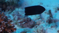Stock Video Footage of Fish | Damselfish | Whitetail Damselfish | Rubble | Tracking