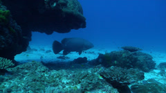 Queensland grouper fleeing on deep sand and coral rubble, Epinephelus Stock Footage