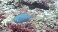 Unidentified pale damsel swimming on shallow coral reef, Pomacentrus sp., HD, Stock Footage