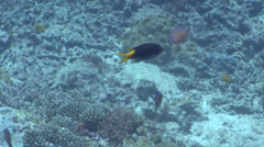 Yellowtail demoiselle feeding on shallow coral reef, Neopomacentrus azysron, HD, Stock Footage