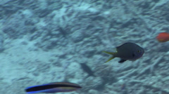 Yellow-spotted chromis feeding on shallow coral reef, Chromis flavomaculata, HD, Stock Footage