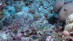 Unidentified dark grey damsel swimming on rubble, Pomacentrus sp., HD, UP31113 Stock Footage