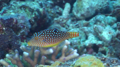 Bluespot toby swimming, Canthigaster solandri, HD, UP31253 Stock Footage