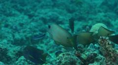 Twospot bristletooth swimming on dead reef, Ctenochaetus binotatus, HD, UP31298 Stock Footage