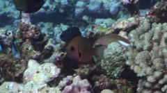 Stout chromis swimming on shallow coral reef, Chromis chrysura, HD, UP31393 Stock Footage