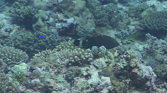 Tripletail wrasse swimming, Cheilinus trilobatus, HD, UP31397 Stock Footage