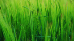 Green barley on the field Stock Footage