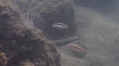 Variable fangblenny hovering on silty rock wall, Petroscirtes variabilis, HD, Stock Footage