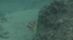 Juvenile Beaked coralfish fleeing on silty rock wall, Chelmon rostratus, HD, Stock Footage