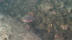 Juvenile Beaked coralfish feeding on silty rock wall, Chelmon rostratus, HD, Stock Footage