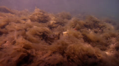 Brown slime algae swimming on rock wall, Hincksia sordida, HD, UP31473 Stock Footage