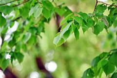 deciduous tree - stock photo
