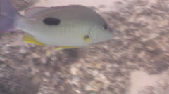Moses perch swimming on river mouth rock wall, Lutjanus russellii, HD, UP31502 Stock Footage