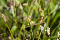 Golden-winged dragonfly Stock Photos