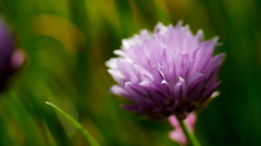 Chive flower, allium herb, close up - stock footage