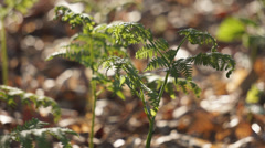 Young bracken shoots in a beech wood, Hampshire, England. Stock Footage