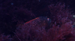 Red weed fleeing on rocky reef, Plocamium microcladioides, HD, UP31640 Stock Footage