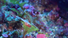 Eastern cleaner-clingfish swaying on rocky reef, Cochleoceps orientalis, HD, Stock Footage