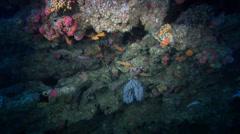 Stock Video Footage of Striped anthias swimming in overhang, Pseudanthias fasciatus, HD, UP31682