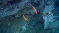 Striped anthias swimming on rocky reef, Pseudanthias fasciatus, HD, UP31690 Stock Footage