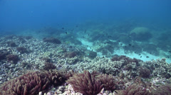 Red asparagus algae on shallow coral reef, Asparagopsis taxiformis, HD, UP31699 Stock Footage