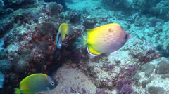 Crochet butterflyfish swimming on coral reef, Chaetodon guentheri, HD, UP31707 Stock Footage
