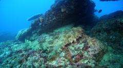 Spotted wobbegong shark sleeping on rocky reef, Orectolobus maculatus, HD, Stock Footage