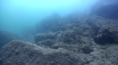Beaked coralfish swimming on silty rock wall, Chelmon rostratus, HD, UP31873 Stock Footage