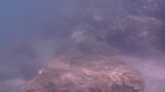 Sixlined grunter swimming on silty rock wall, Pelates sexlineatus, HD, UP31915 Stock Footage