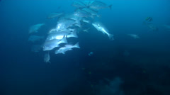 Mother-in-law fish swimming and schooling on rocky reef, Diagramma picta, HD, Stock Footage