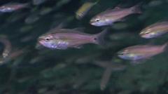Unidentified cardinalfish swimming on inshore wreck on deep sand, Ostorhinchus Stock Footage