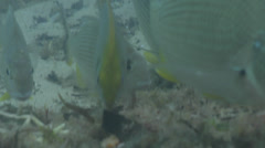 Pearlspotted rabbitfish feeding on mixed algae and seagrass muck on sand, Stock Footage