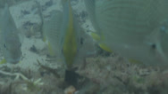 Stock Video Footage of Fish | Rabbitfish | Pearlspotted Rabbitfish | Mixed Algae & Seagrass Muck |