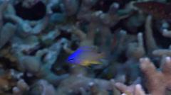 Juvenile Bluespot demoiselle feeding in lagoon, Chrysiptera oxycephala, HD, Stock Footage