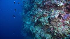 Meyer's butterflyfish swimming on seaward wall, Chaetodon meyeri, HD, UP32555 Stock Footage
