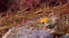 Candycane dwarfgoby on seaward wall, Trimma cana, HD, UP32557 Stock Footage