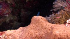 Candycane dwarfgoby feeding on seaward wall, Trimma cana, HD, UP32560 Stock Footage