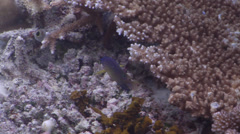 Unidentified damsel feeding on shallow coral reef, Pomacentrus sp., HD, UP32605 Stock Footage