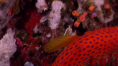 Coral cod fleeing on seaward wall, Cephalopholis miniata, HD, UP32694 Stock Footage