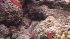 Redfin anthias displaying on very shallow reef and surface, Pseudanthias dispar, Stock Footage