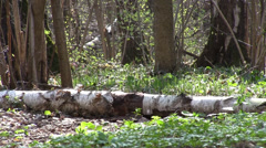 Spring Forest in Russia Stock Footage
