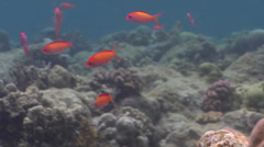 Redfin anthias swimming on very shallow reef and surface, Pseudanthias dispar, Stock Footage