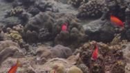 Stock Video Footage of Fish | Anthias | Redfin Anthias | Very Shallow Reef & Surface | Tracking