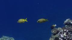Whitecheek surgeonfish swimming, Acanthurus nigricans, HD, UP32820 Stock Footage