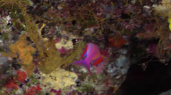 Male adult Randall's anthias swimming on seaward wall, Pseudanthias randalli, Stock Footage