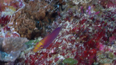 Whitebarred wrasse swimming on protected deep wall, Pseudocheilinus ocellatus, Stock Footage