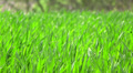 bright  green grass in windy day. Close up HD Footage