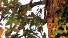 Stock Video Footage of API 4, Bees create nests on tree trunk at sunset